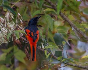 a-scarlet-minivet-at-doi-inthanon-national-park