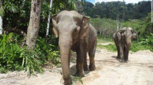 Kannika, a rescued elephant and Phuket Elephant Sanctuary