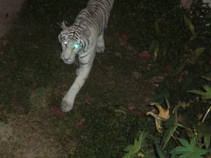 Chiang Mai Nigth Safari white tiger