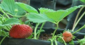 Straberries grown in Yasothorn