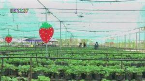 Strawberries grown in Yasothorn, four