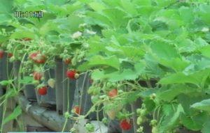Strawberries grown in Yasothorn, three