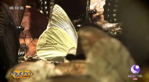 Kaeng Krachan butterflies four