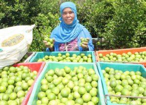 Lime farmer